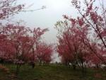 bosque cerejeiras1