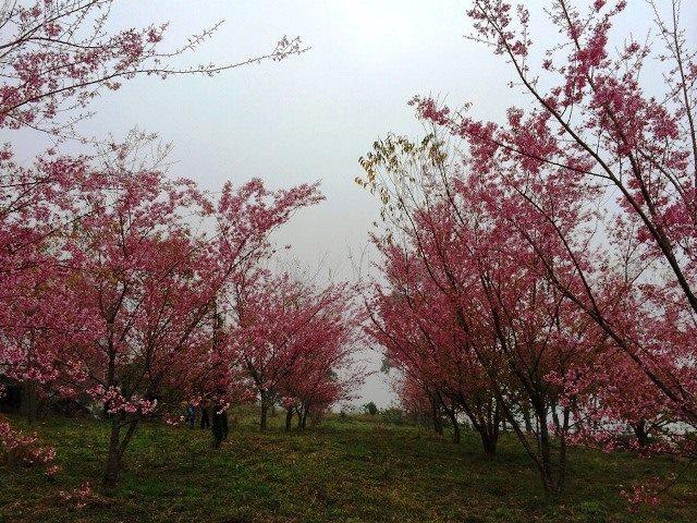 Bosque das cerejeiras deixa região de Pedra Azul mais colorida e encanta capixabas
