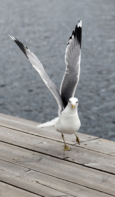 seagull-374385_640