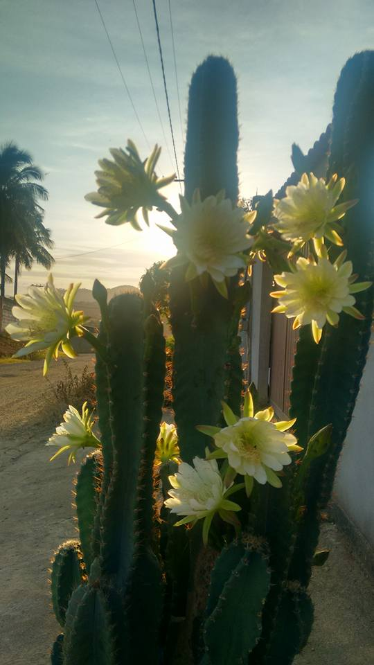 Mandacaru flor 2