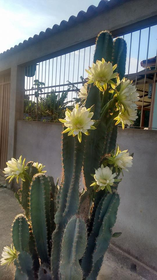 Mandacaru flor 3