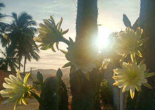 Flores de mandacarú são clicadas por leitora de Cariacica