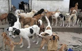 25 Cachorros Brigam Por Cadela No Cio Em São Cristovão