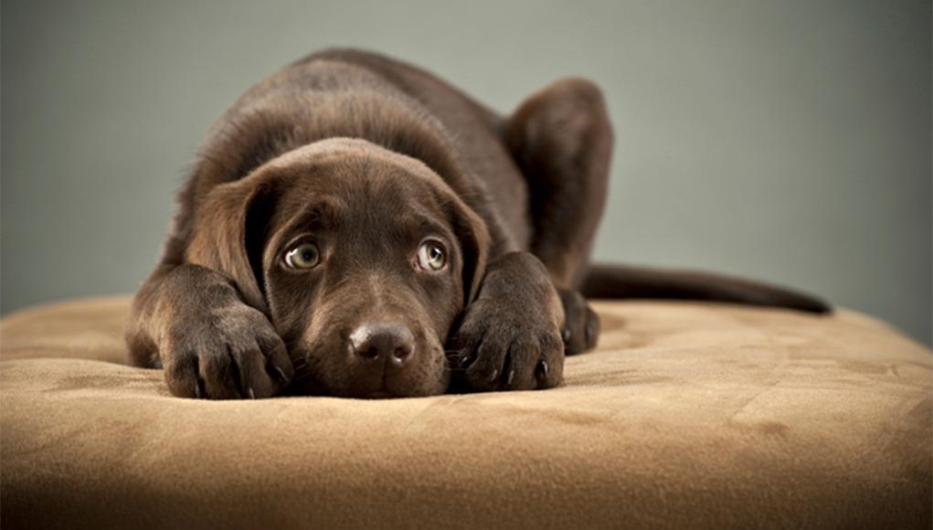Puppy on ottoman