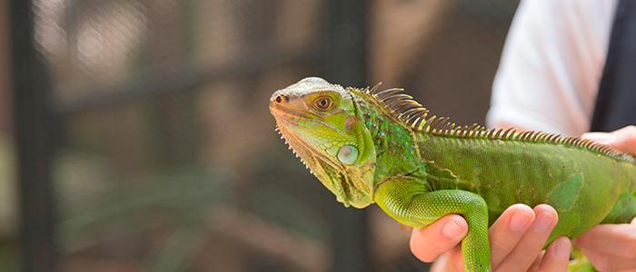 4. Iguana
