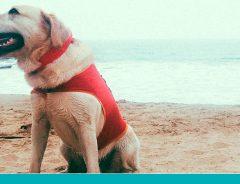 Labrador Ice, cão salva-vidas