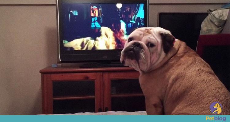 Conheça a bulldog que tenta proteger personagens de filmes de terror