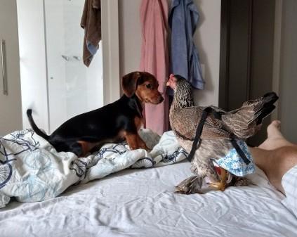 galinha em apartamento
