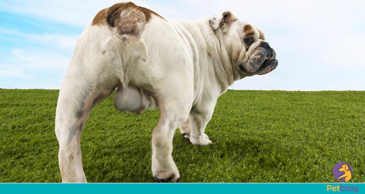 sintomas cancer prostata cachorro