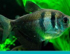 peixes onívoros criar em casa