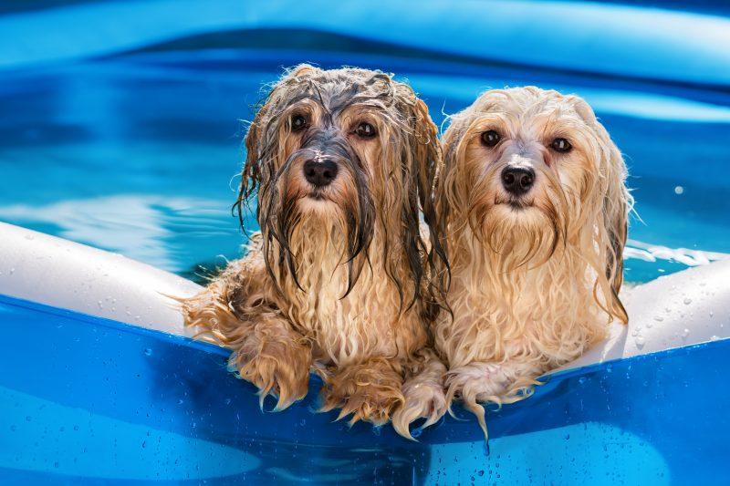 cachorros podem entrar na piscina?
