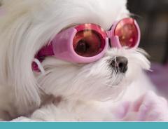 Cio canino: O que é e o que acontece com sua cadelinha?