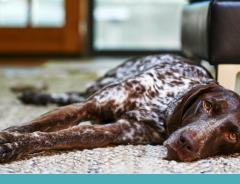Importância de prevenir o câncer de próstata em cães