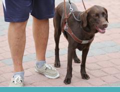 Como é o treinamento de um cão guia?