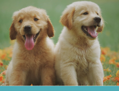 Golden Retriever: cuidados importantes