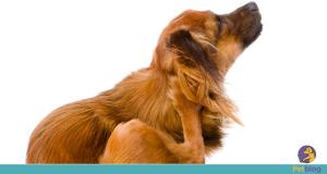 Inchaço na orelha do cachorro pode ser otohematoma